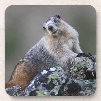 alaska marmot drink coaster