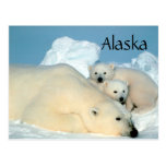 Alaska polar bear with cubs postcard