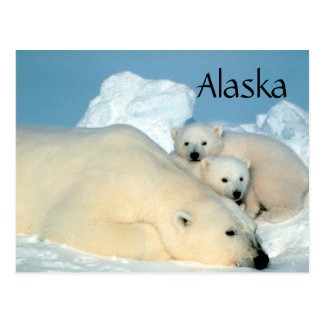 Alaska polar bear with cubs postcard
