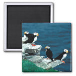 Alaska Puffins Feathered Colorful Birds 2 Inch Square Magnet