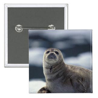 Alaska, southeast region Harbor seal on ice 2 Inch Square Button