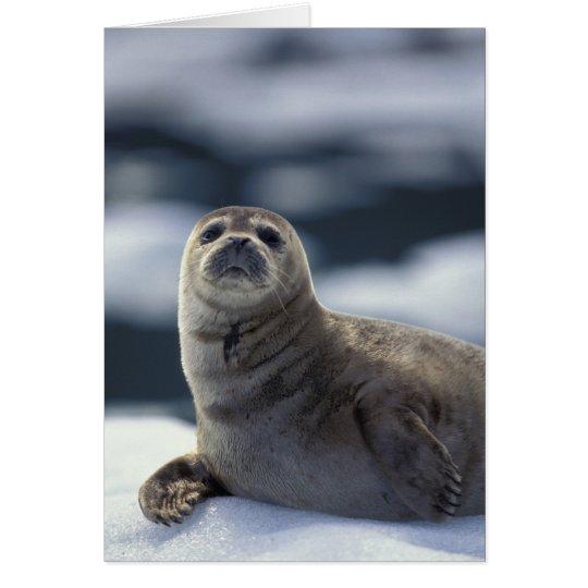Alaska, southeast region Harbor seal on ice Card