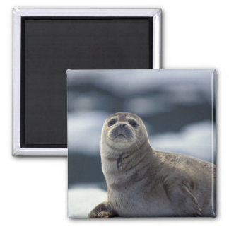 Alaska, southeast region Harbor seal on ice Magnet