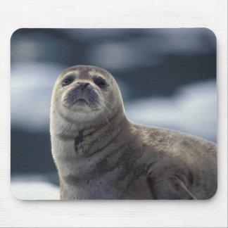 Alaska, southeast region Harbor seal on ice Mouse Pad