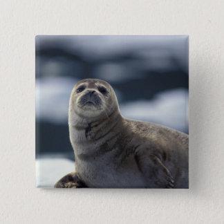 Alaska, southeast region Harbor seal on ice Pinback Button