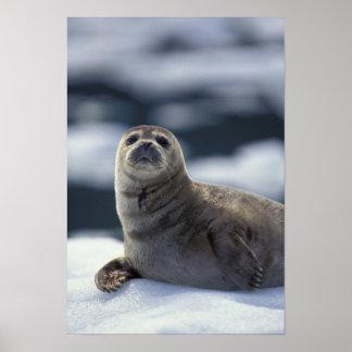 Alaska, southeast region Harbor seal on ice Poster