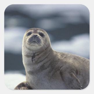 Alaska, southeast region Harbor seal on ice Square Sticker
