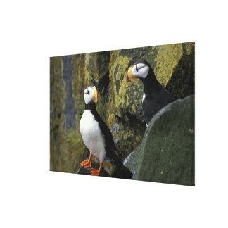 Alaska, St. Paul Island, the Pribilofs, horned Canvas Print