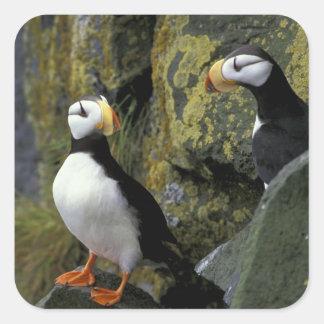 Alaska, St. Paul Island, the Pribilofs, horned Square Sticker
