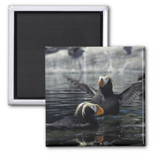 Alaska Tufted puffins 2 Inch Square Magnet