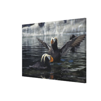 Alaska Tufted puffins Canvas Print