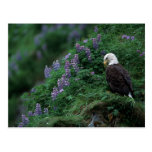 Alaska, Unalaska Island Bald Eagle among Nootka Post Card
