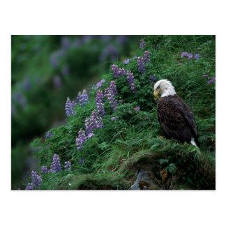 Alaska, Unalaska Island Bald Eagle among Nootka Postcard