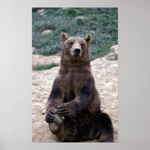 Alaska, Ursus suroriental del oso de Brown de la r Posters