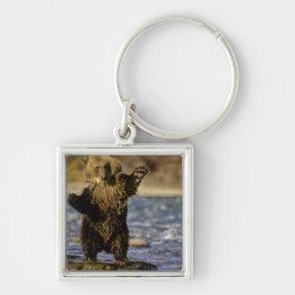 Alaska, USA, Grizzly Bear, Ursus arctos, cub Keychain