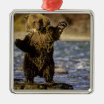 Alaska, USA, Grizzly Bear, Ursus arctos, cub Christmas Ornament