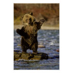 Alaska, USA, Grizzly Bear, Ursus arctos, cub Posters