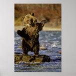 Alaska, USA, Grizzly Bear, Ursus arctos, cub Print