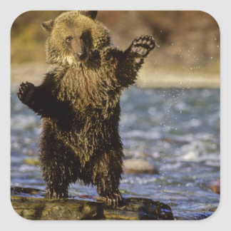 Alaska, USA, Grizzly Bear, Ursus arctos, cub Square Sticker