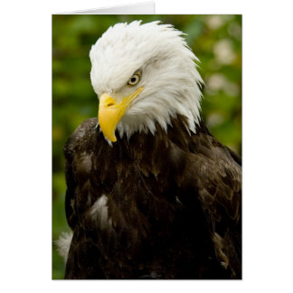 Alaskan Bald Eagle Card