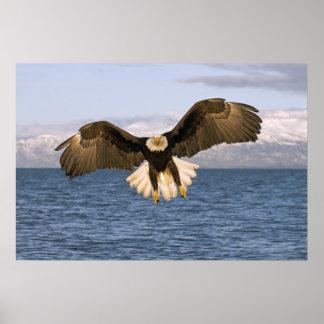 Alaskan Bald Eagle Poster