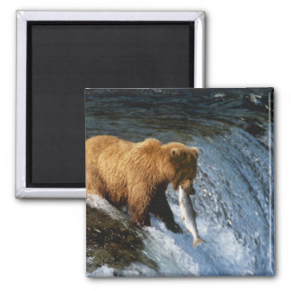 Alaskan Brown Bear Catching Salmon at Brooks 2 Inch Square Magnet