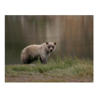 Alaskan Brown Bear Postcard