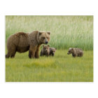 Alaskan Brown Bear Sow and three Cubs, Ursus Postcard