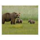 Alaskan Brown Bear Sow and three Cubs, Ursus Poster