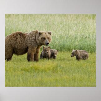 Alaskan Brown Bear Sow and three Cubs, Ursus Poster