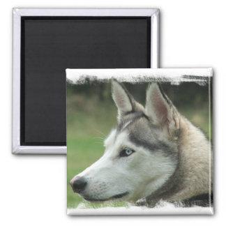 Alaskan Husky Square Magnet Magnets