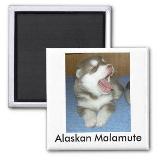 Alaskan Malamute, Alaskan Malamute 2 Inch Square Magnet