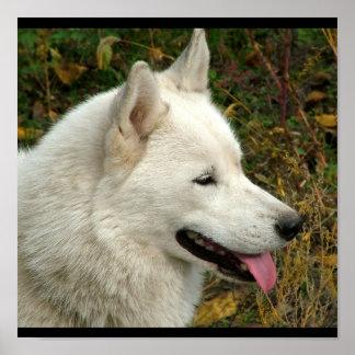 Alaskan Malamute Dog Photograph Poster