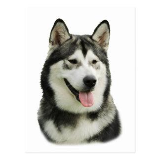 Alaskan Malamute dog Postcard