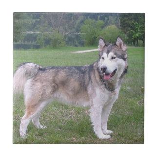 Alaskan Malamute Dog Tile