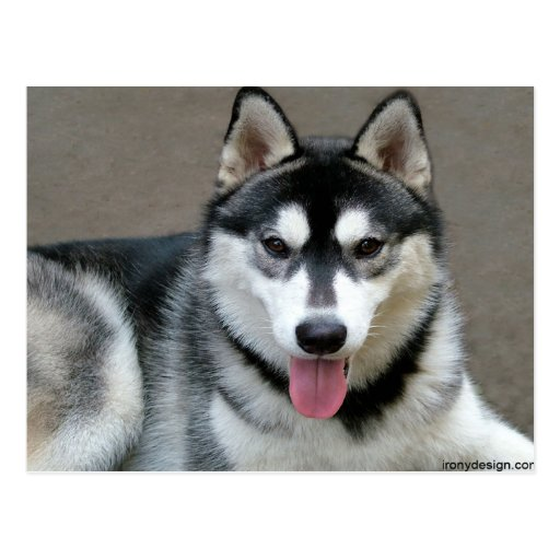 Alaskan Malamute Dogs Postcard