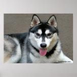 Alaskan Malamute Dogs Poster