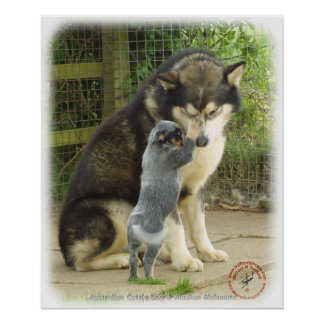 Alaskan Malamute with Cattle Dog pup Poster