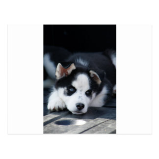 Alaskan Siberian Lop Eared Husky Sled Dog Puppy Postcard