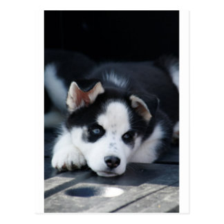 Alaskan Siberian Lop Eared Husky Sled Dog Puppy Postcard