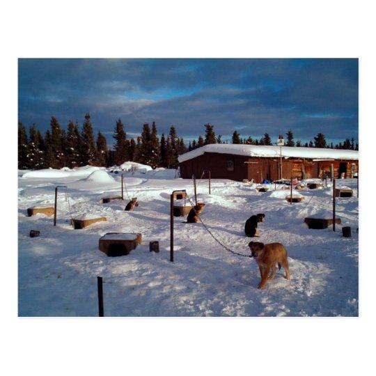 Alaskan Sled Dogs Postcard