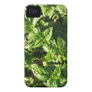 Albahaca cultivada en campo abierto iPhone 4 cárcasas