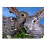 Albaricoque y conejo azul de Rex Postales