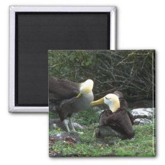 Albatros agitado en cortejo imán para frigorifico