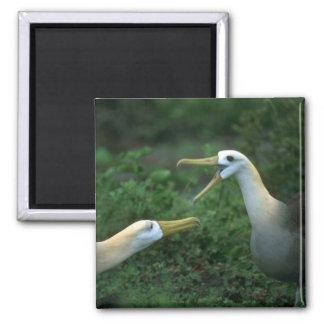 Albatros agitado en cortejo imán de frigorífico