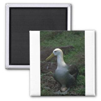 Albatros agitado en el huevo imán de frigorífico