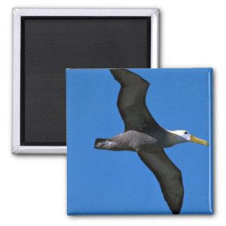 Albatros agitado en vuelo imán para frigorifico