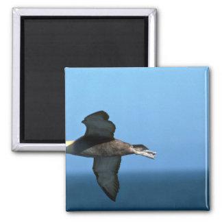 Albatros agitado en vuelo imanes de nevera