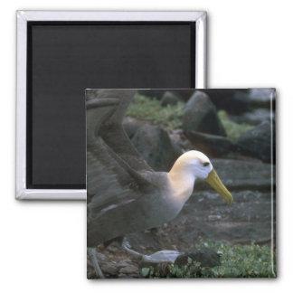 Albatros agitado listo para volar imán de nevera