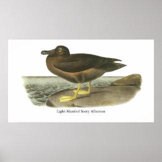 albatros fuliginoso Luz-cubierto, Juan Audubon Posters